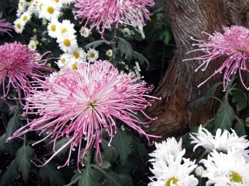 Chrsanthemum 2013 (8)