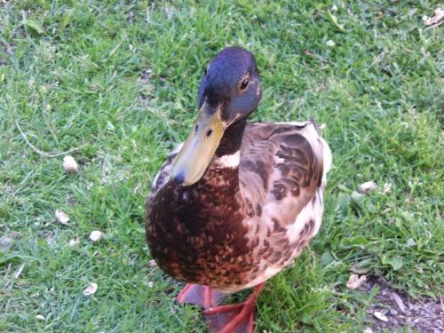 Duck Delight Blog (18)