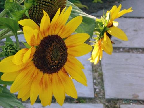 Beautiful Sunflowers 2014 (1)