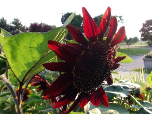 Beautiful Sunflowers 2014 (11)