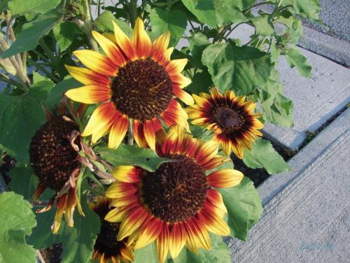 Beautiful Sunflowers 2014 (12)