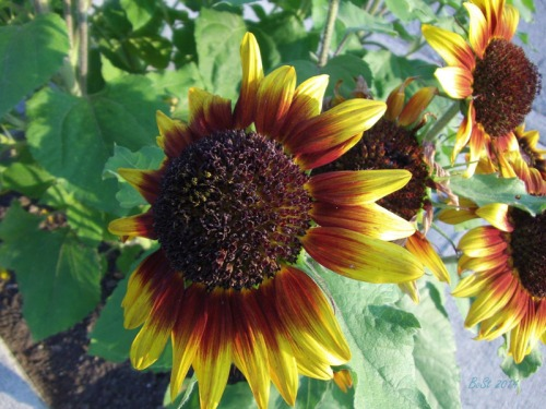 Beautiful Sunflowers 2014 (13)