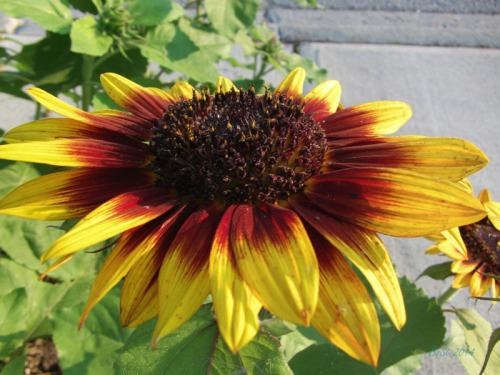 Beautiful Sunflowers 2014 (14)