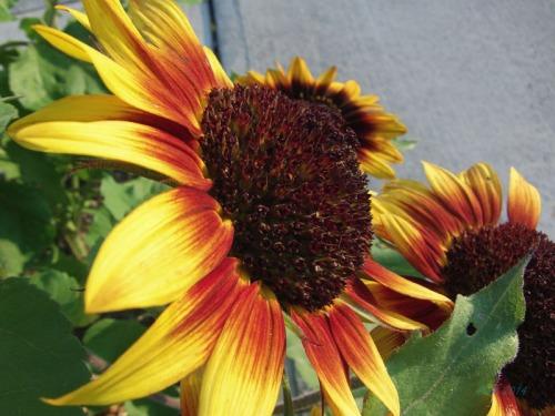 Beautiful Sunflowers 2014 (15)