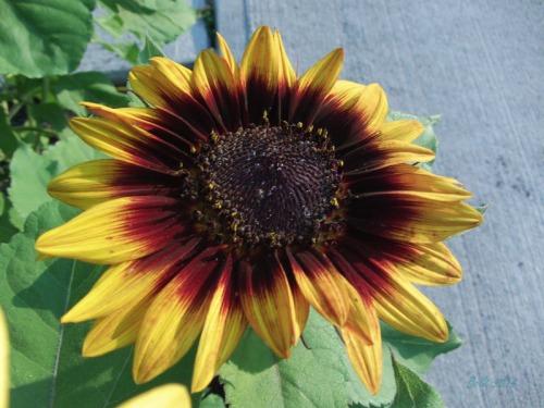 Beautiful Sunflowers 2014 (16)