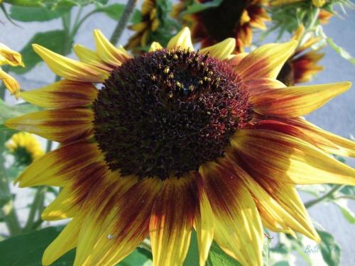 Beautiful Sunflowers 2014 (17)