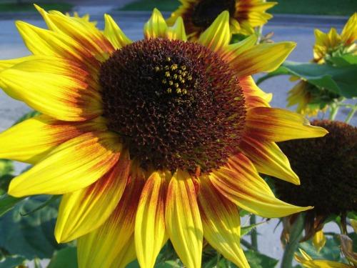 Beautiful Sunflowers 2014 (18)