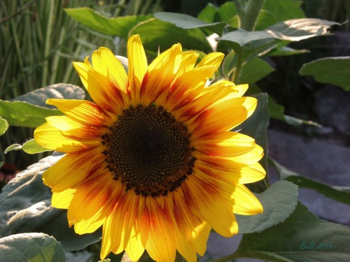 Beautiful Sunflowers 2014 (2)