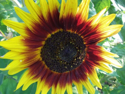 Beautiful Sunflowers 2014 (20)