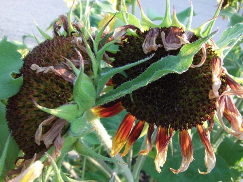 Beautiful Sunflowers 2014 (21)