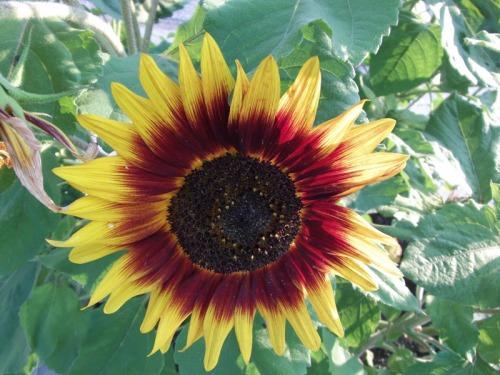 Beautiful Sunflowers 2014 (22)