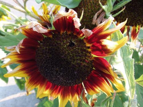 Beautiful Sunflowers 2014 (23)