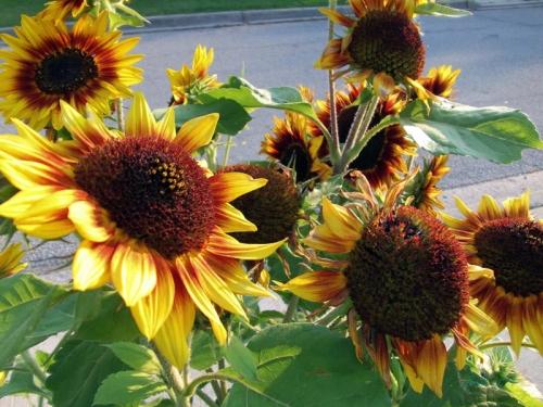 Beautiful Sunflowers 2014 (24)