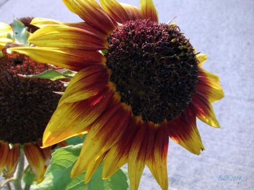 Beautiful Sunflowers 2014 (25)