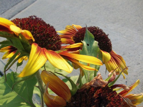 Beautiful Sunflowers 2014 (26)