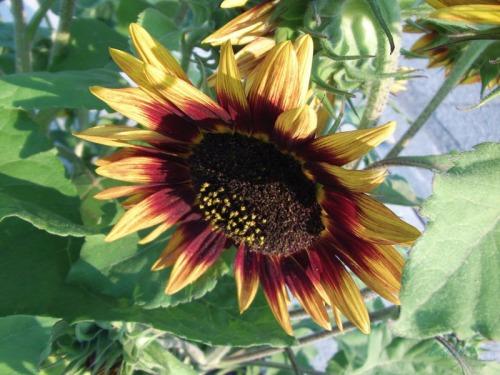 Beautiful Sunflowers 2014 (27)