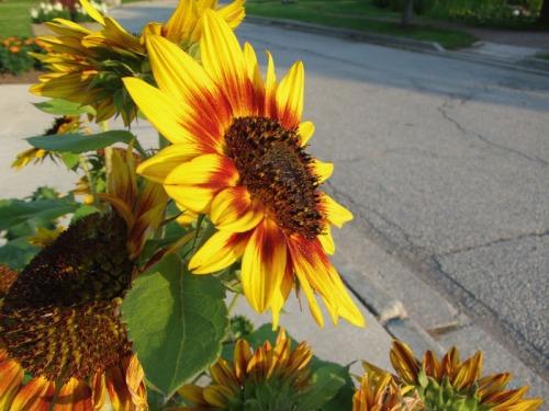 Beautiful Sunflowers 2014 (28)