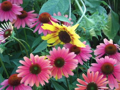 Beautiful Sunflowers 2014 (3)