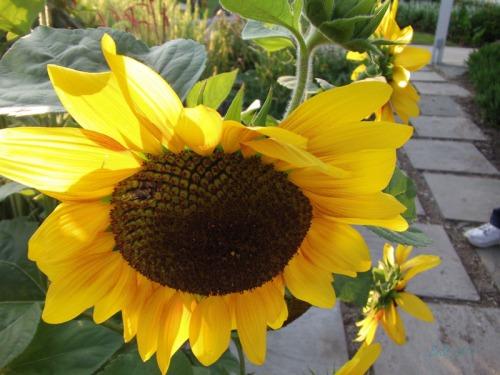 Beautiful Sunflowers 2014 (4)