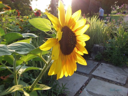 Beautiful Sunflowers 2014 (7)