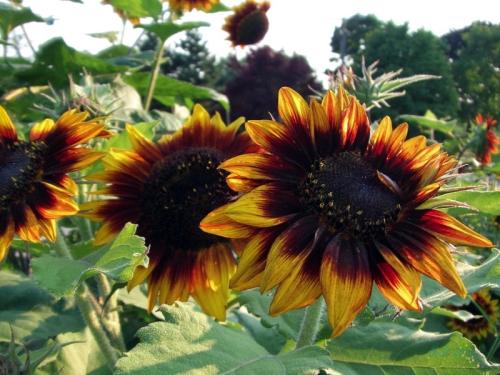 Beautiful Sunflowers 2014 (8)