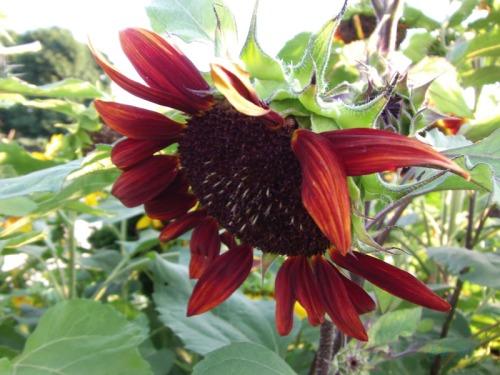Beautiful Sunflowers 2014 (9)