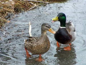 Ducks on Ice (14)