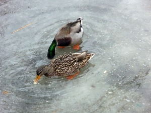 Ducks on Ice (15)
