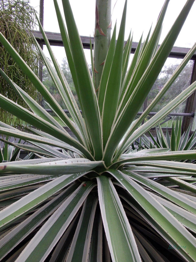 Agave the century plant notable inklings for Plants that live long