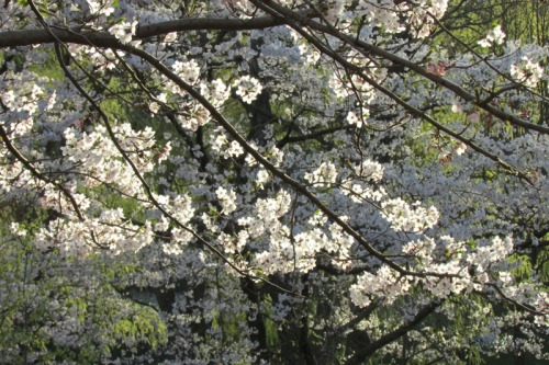 Cherry Blossoms 2015 (13)