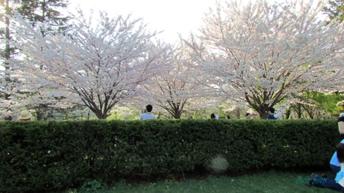 Cherry Blossoms 2015 (14)