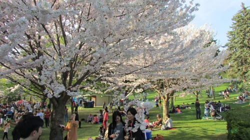 Cherry Blossoms 2015 (15)
