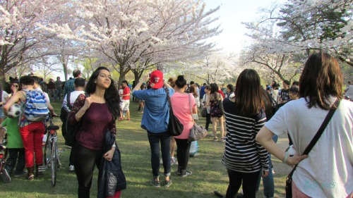 Cherry Blossoms 2015 (16)