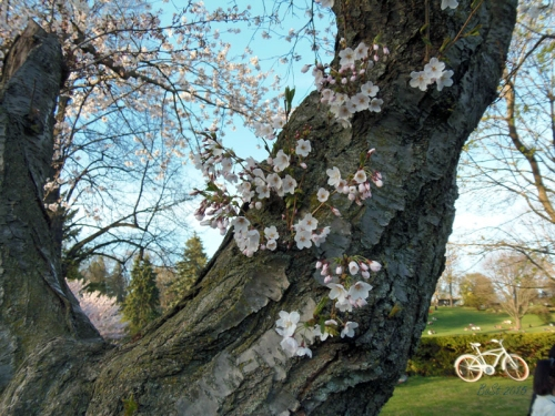 Cherry Blossoms 2015 (17)