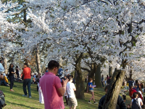 Cherry Blossoms 2015 (21)