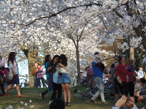 Cherry Blossoms 2015 (22)