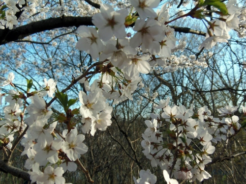 Cherry Blossoms 2015 (25)