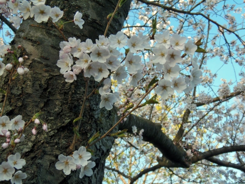 Cherry Blossoms 2015 (3)