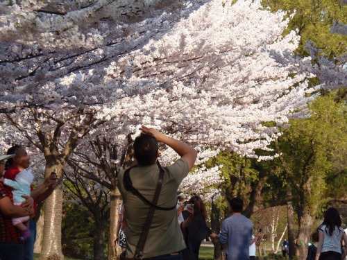 Cherry Blossoms 2015 (37)