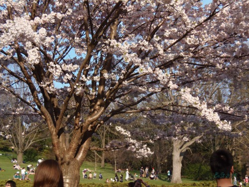 Cherry Blossoms 2015 (41)