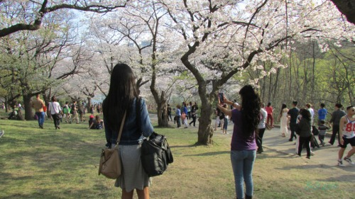 Cherry Blossoms 2015 (5)
