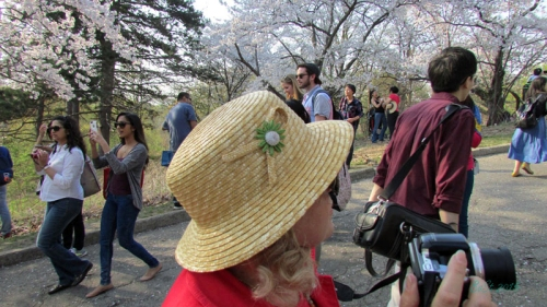 Cherry Blossoms 2015 (8)