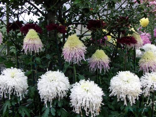 Chrysanthemums  (10)