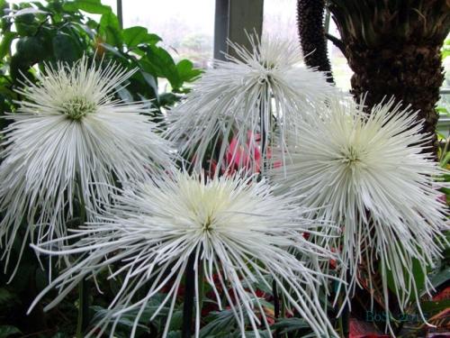 Chrysanthemums  (1)