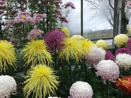 Chrysanthemums  (11)