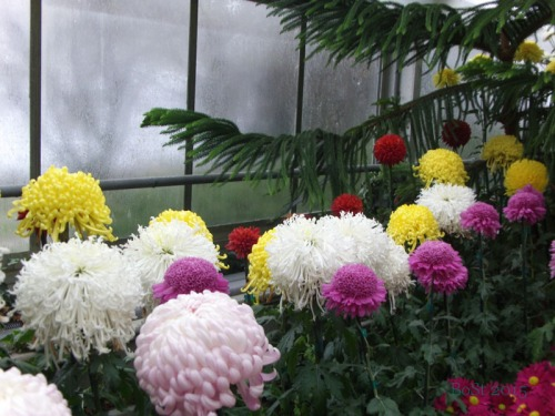 Chrysanthemums  (12)