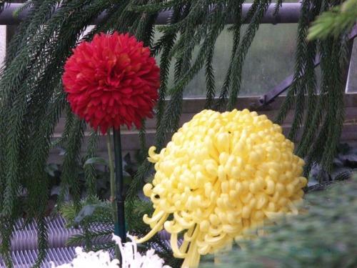 Chrysanthemums  (13)