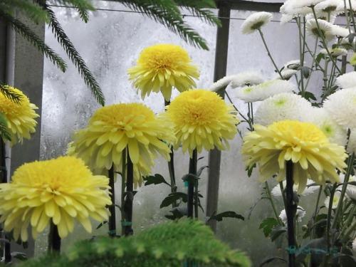 Chrysanthemums  (14)