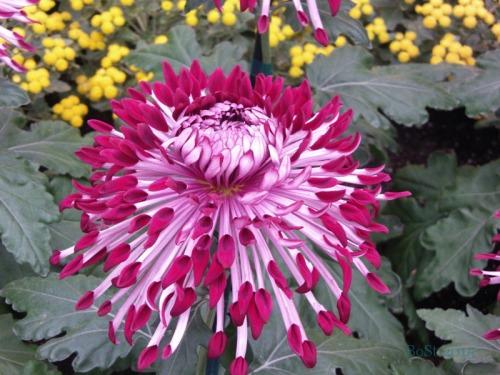 Chrysanthemums  (15)