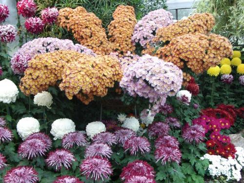 Chrysanthemums  (16)